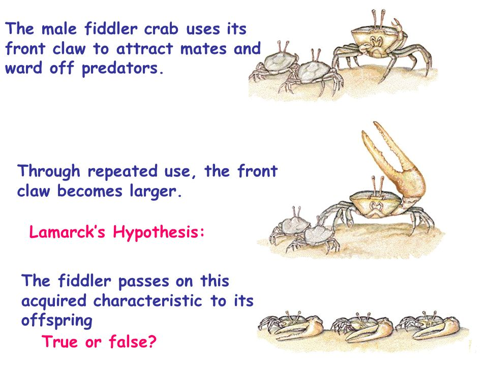 The male fiddler crab uses its