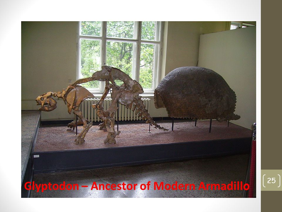 Glyptodon – Ancestor of Modern Armadillo
