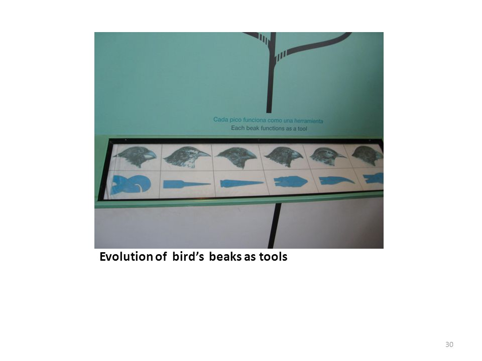 Evolution of bird's beaks as tools
