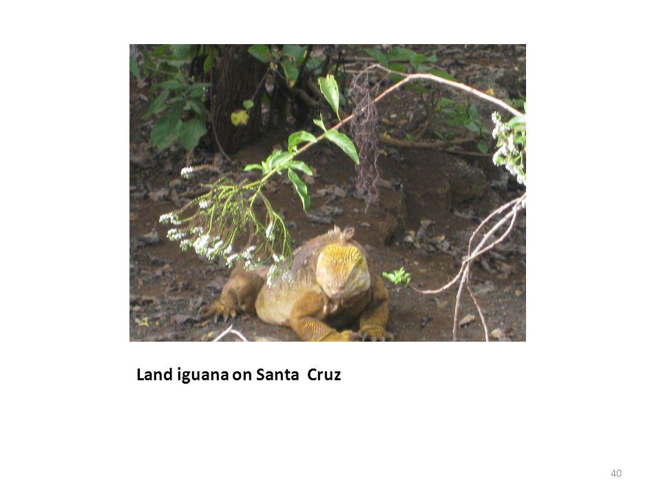 Land iguana on Santa Cruz