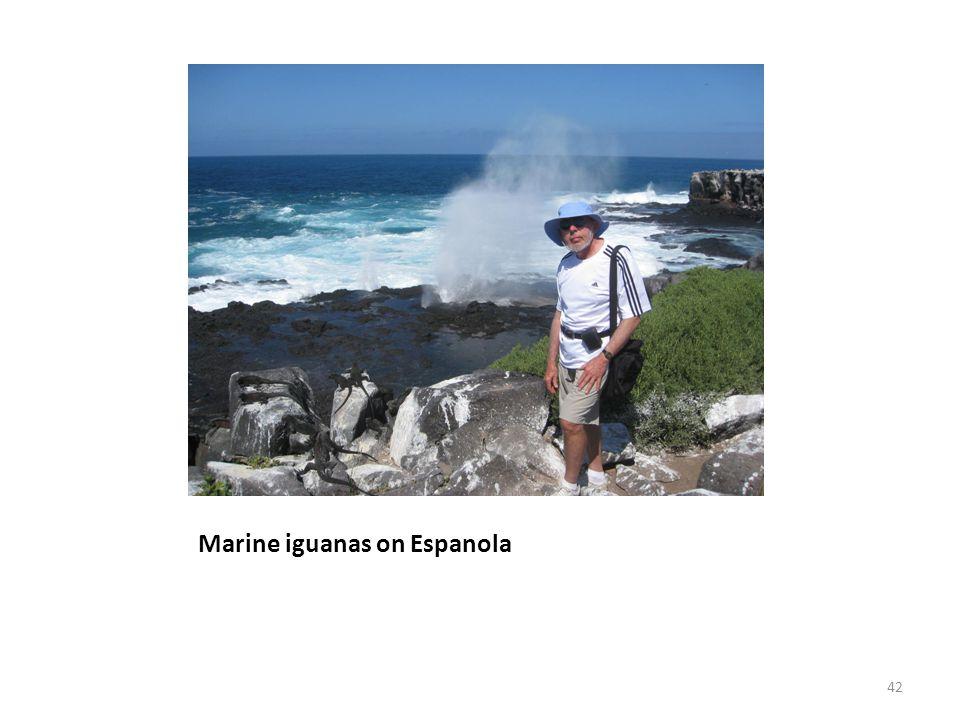 Marine iguanas on Espanola