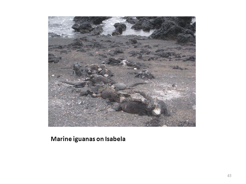 Marine iguanas on Isabela