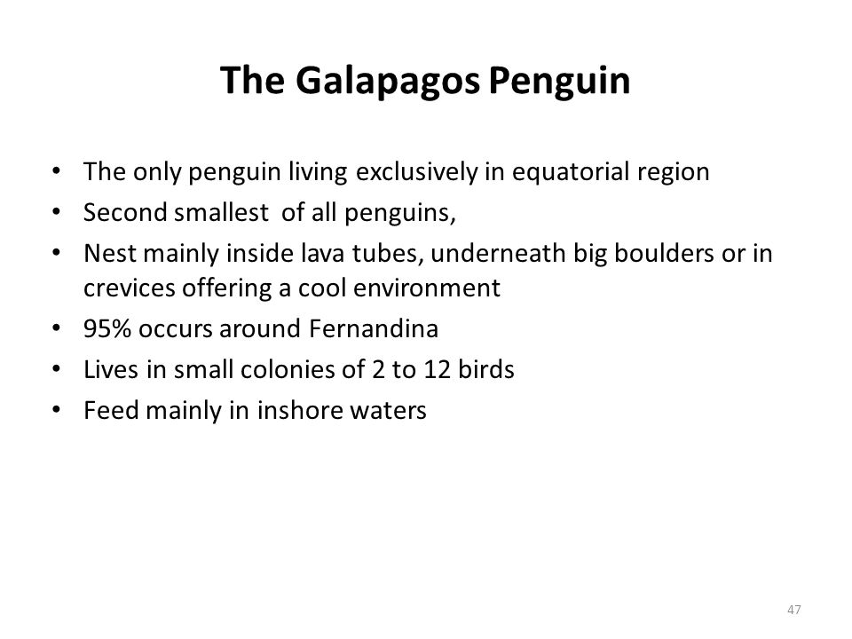 The Galapagos Penguin The only penguin living exclusively in equatorial region. Second smallest of all penguins,