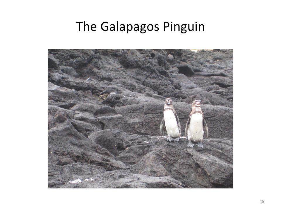 The Galapagos Pinguin