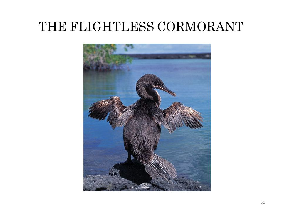 THE FLIGHTLESS CORMORANT
