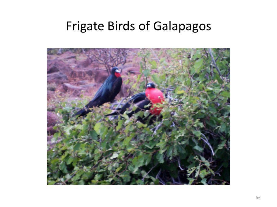 Frigate Birds of Galapagos