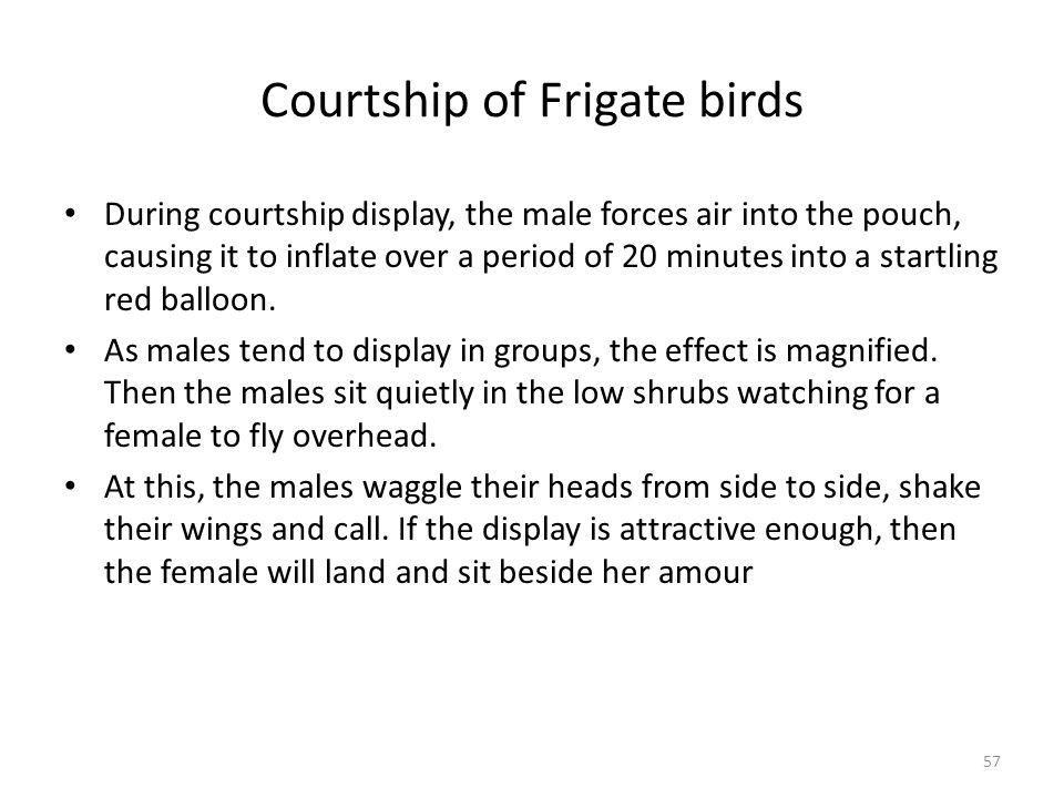 Courtship of Frigate birds