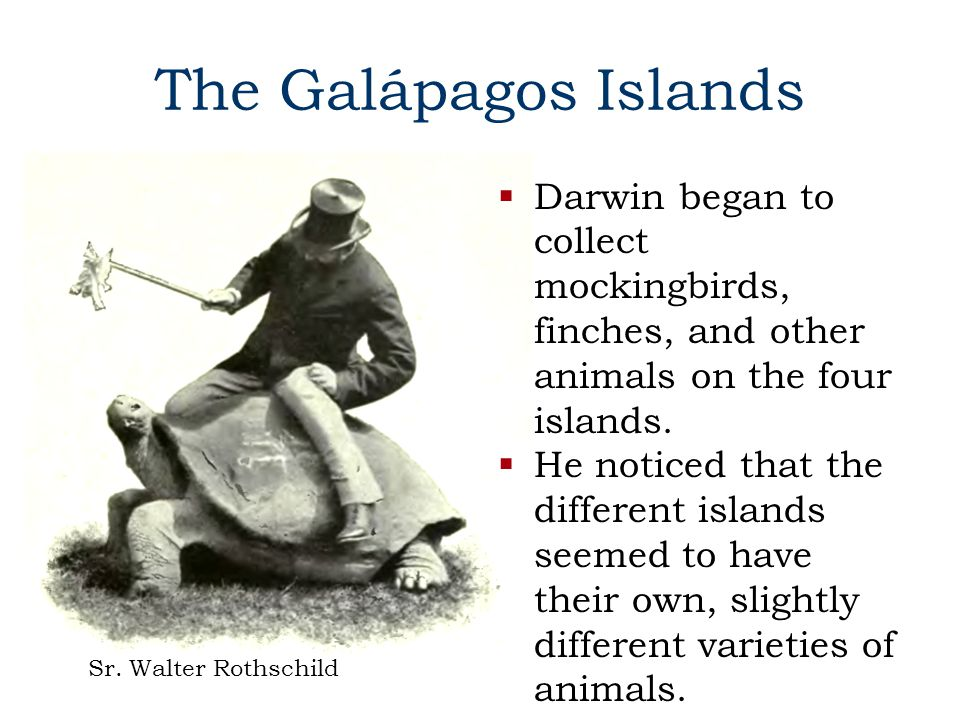 The Galápagos Islands Darwin began to collect mockingbirds, finches, and other animals on the four islands.