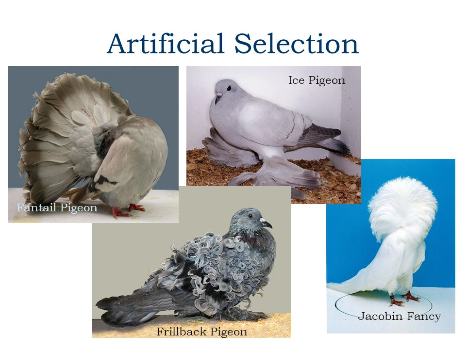 Artificial Selection Ice Pigeon Fantail Pigeon Jacobin Fancy