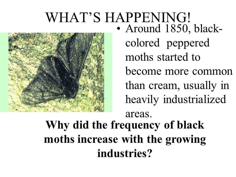 WHAT'S HAPPENING! Around 1850, black- colored peppered moths started to become more common than cream, usually in heavily industrialized areas.