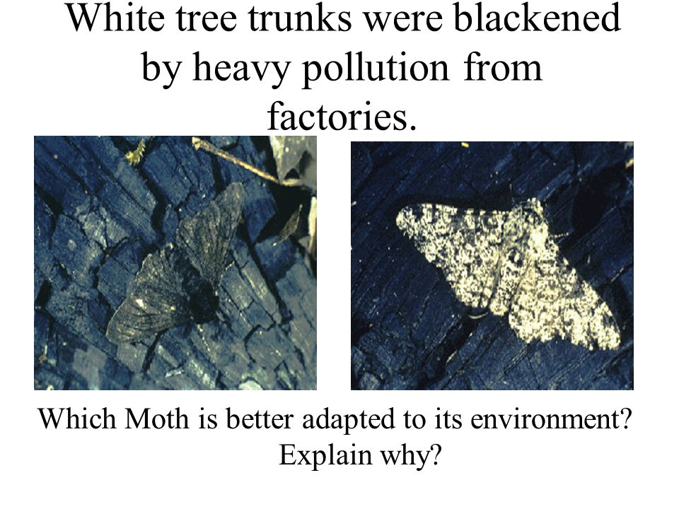 White tree trunks were blackened by heavy pollution from factories.