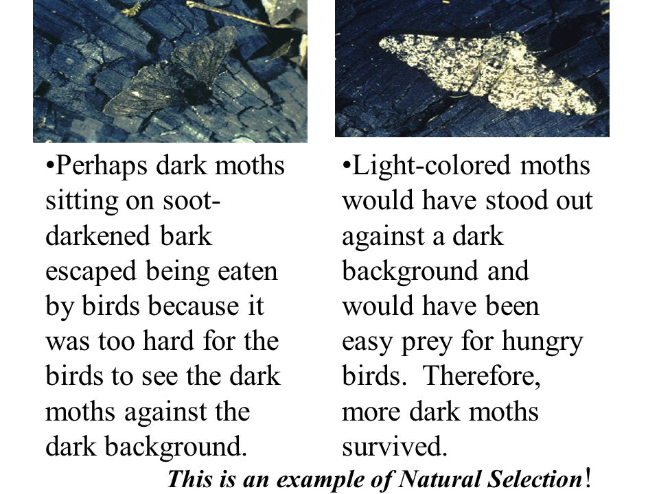 Perhaps dark moths sitting on soot-darkened bark escaped being eaten by birds because it was too hard for the birds to see the dark moths against the dark background.