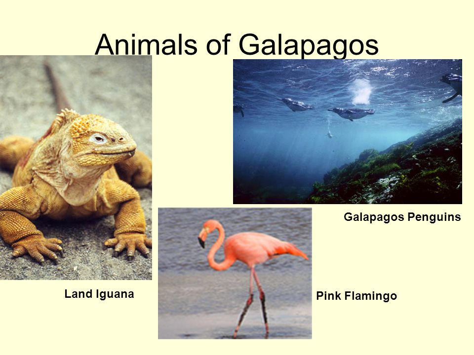 Animals of Galapagos Galapagos Penguins Land Iguana Pink Flamingo
