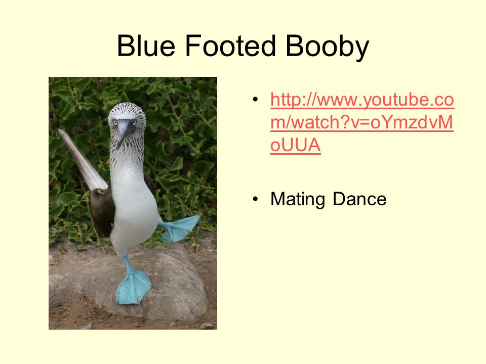 Blue Footed Booby http://www.youtube.com/watch v=oYmzdvMoUUA