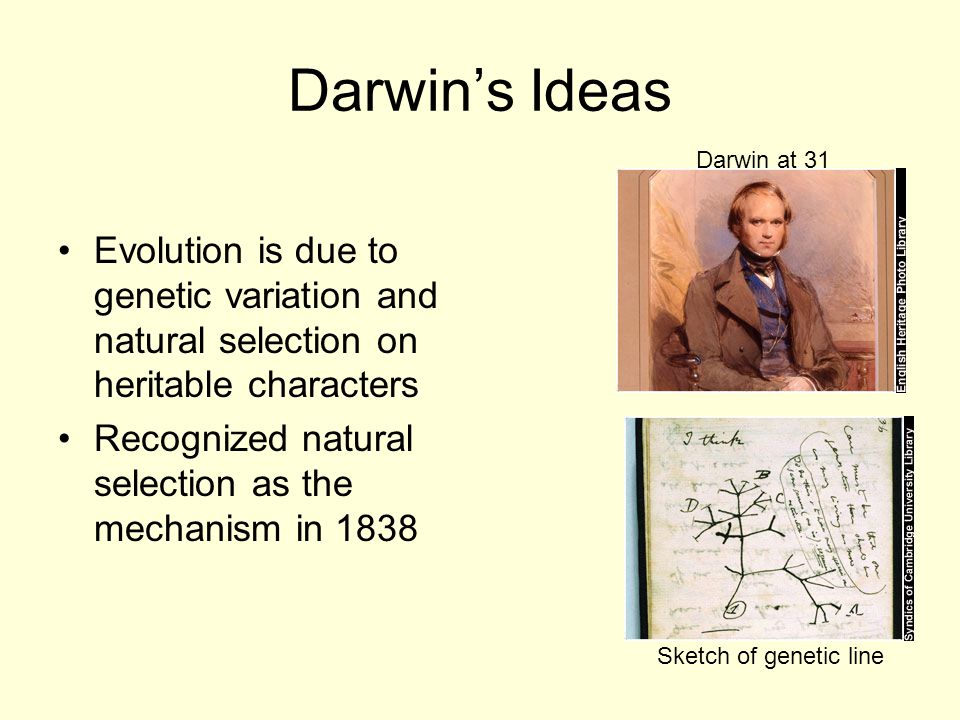 Darwin's Ideas Darwin at 31. Evolution is due to genetic variation and natural selection on heritable characters.