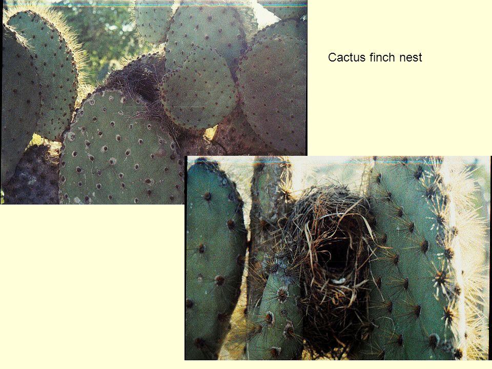 Cactus finch nest