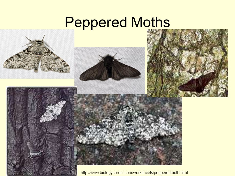 Peppered Moths http://www.biologycorner.com/worksheets/pepperedmoth.html