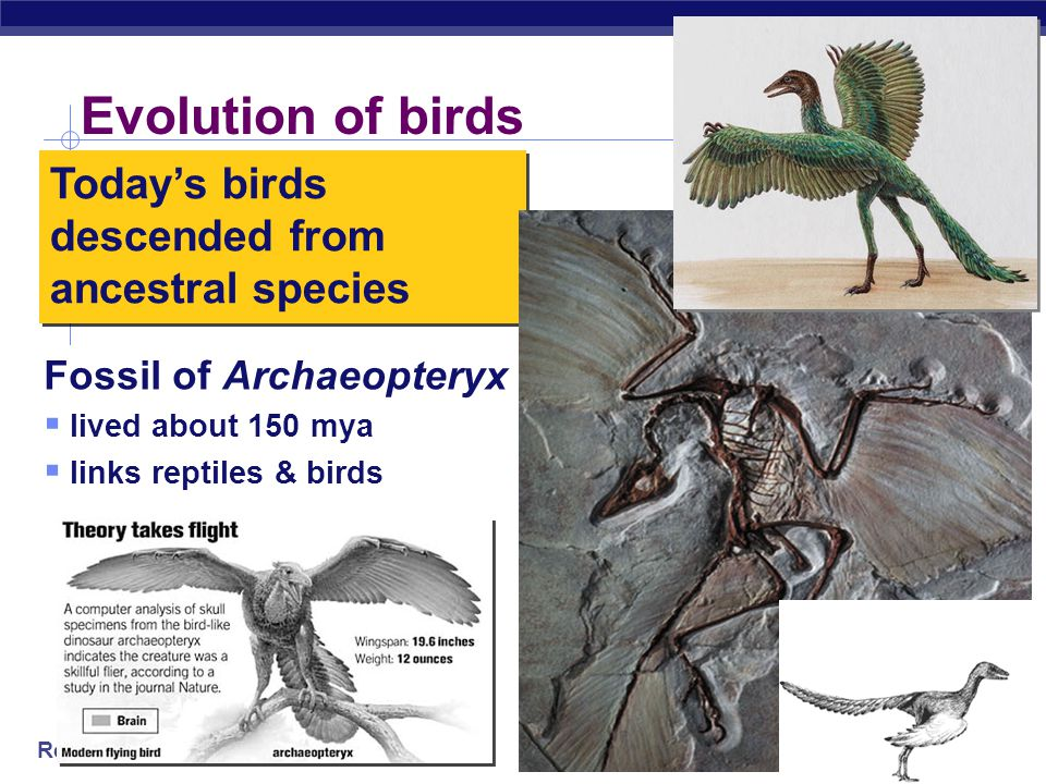 Evolution of birds Today's birds descended from ancestral species