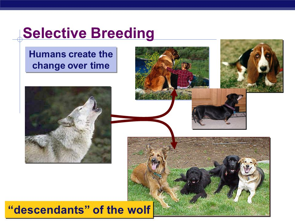 Humans create the change over time descendants of the wolf