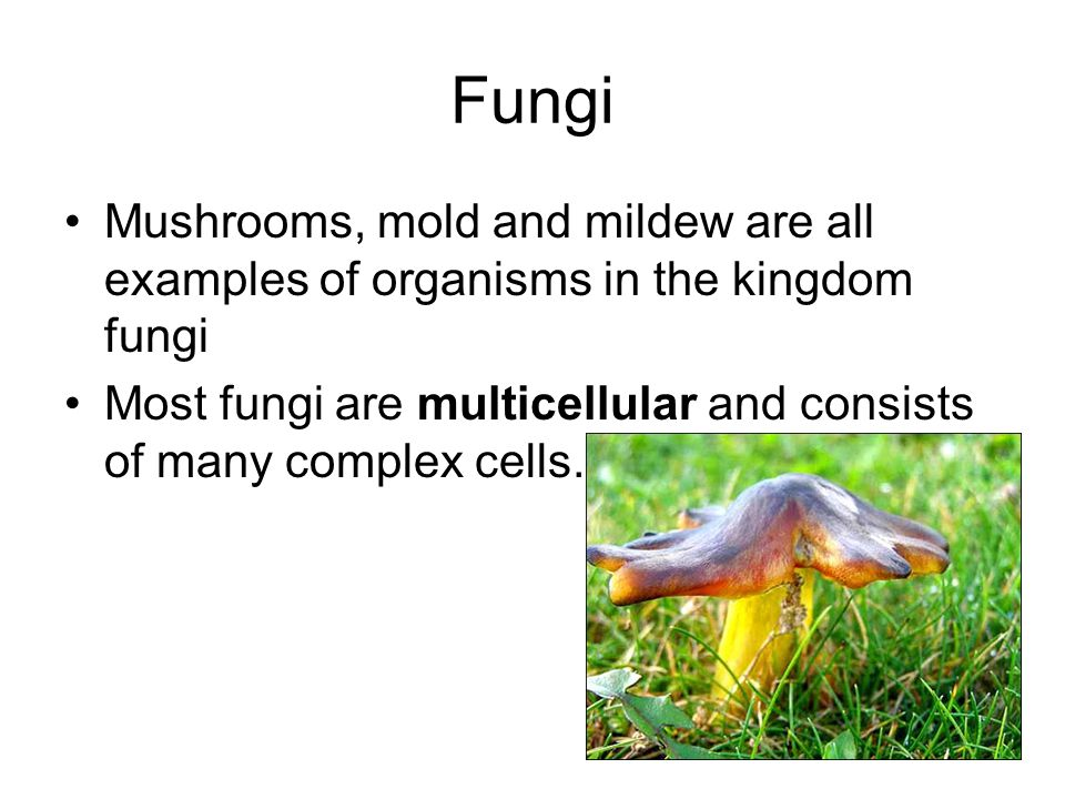 Fungi Mushrooms, mold and mildew are all examples of organisms in the kingdom fungi.