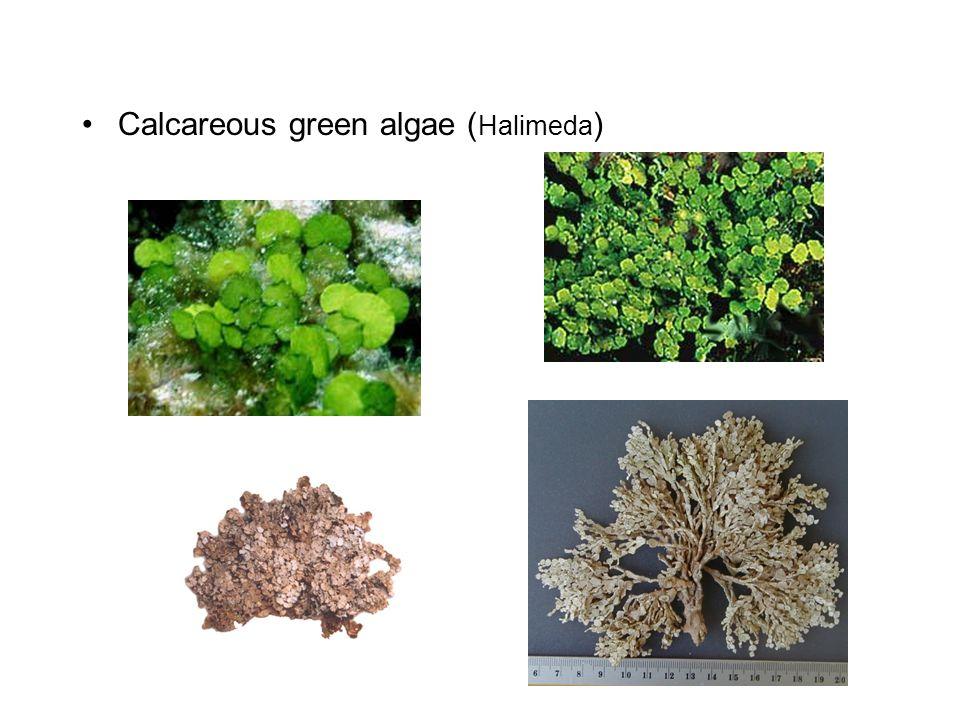 Calcareous green algae (Halimeda)