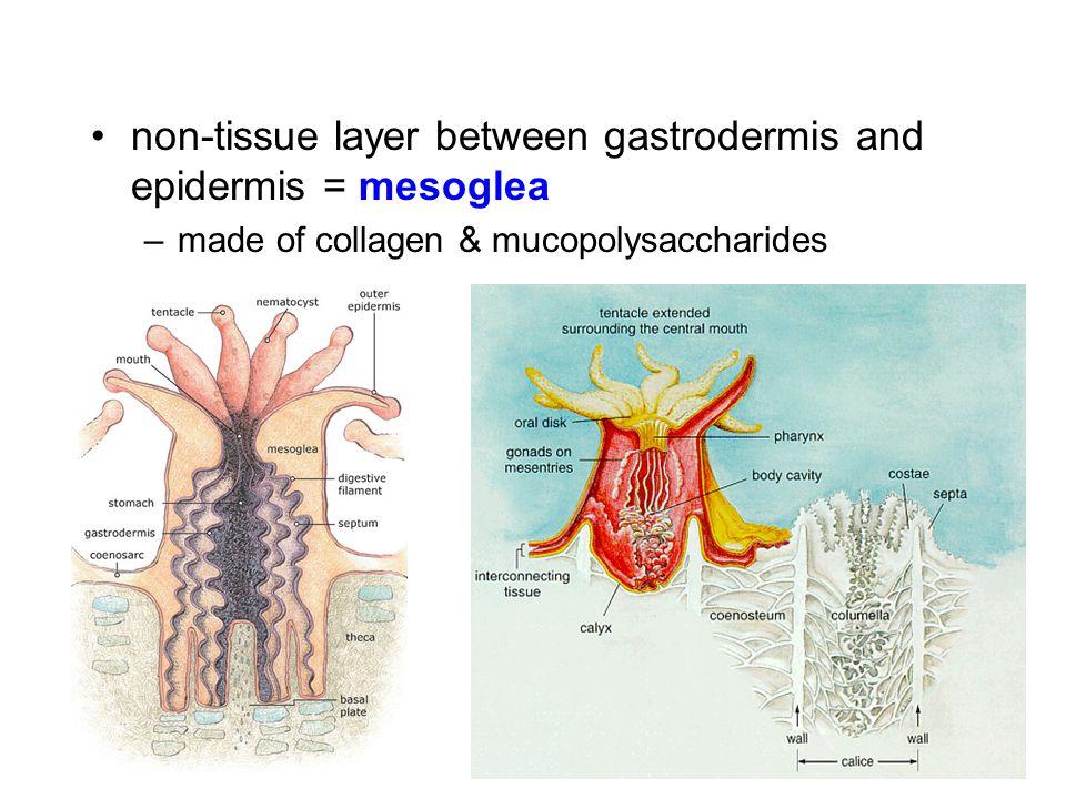 non-tissue layer between gastrodermis and epidermis = mesoglea
