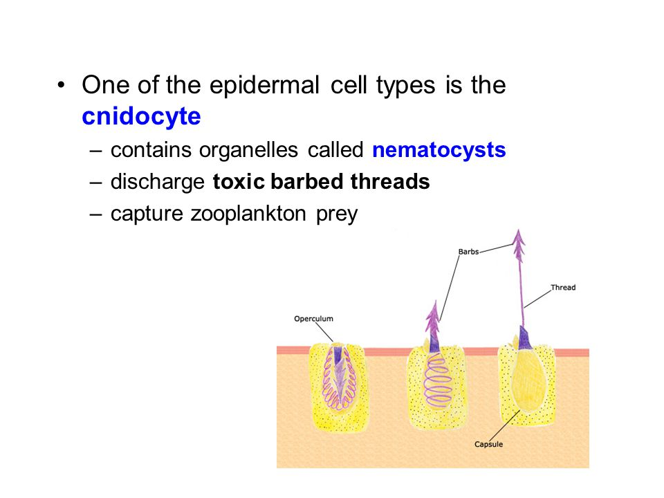 One of the epidermal cell types is the cnidocyte