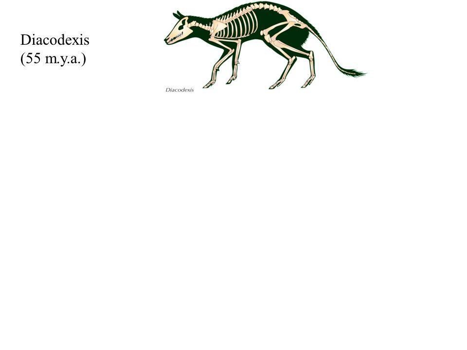 Diacodexis (55 m.y.a.) Pakicetus. (52 m.y.a.) Ambulocetus. (50 m.y.a.) Dorudon. (40 m.y.a.) Baleen Whale.