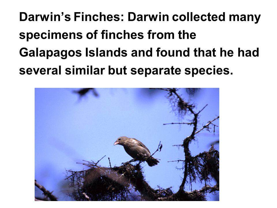 Darwin's Finches: Darwin collected many