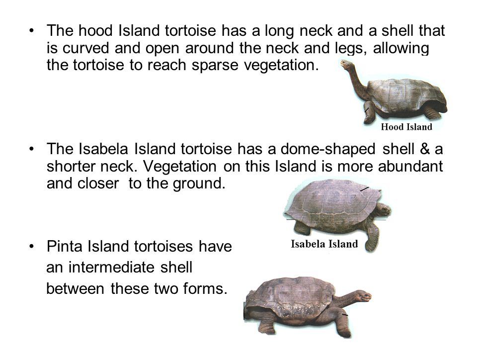 The hood Island tortoise has a long neck and a shell that is curved and open around the neck and legs, allowing the tortoise to reach sparse vegetation.