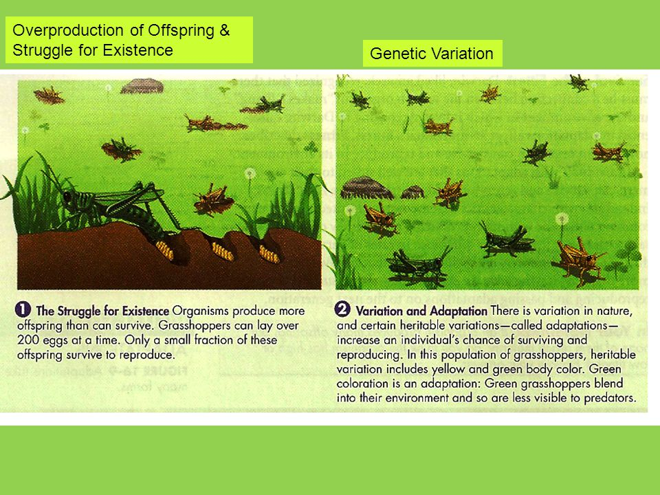 Overproduction of Offspring &