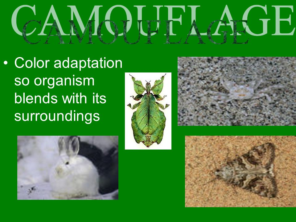 CAMOUFLAGE Color adaptation so organism blends with its surroundings