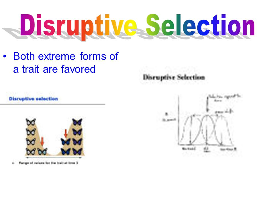 Disruptive Selection Both extreme forms of a trait are favored
