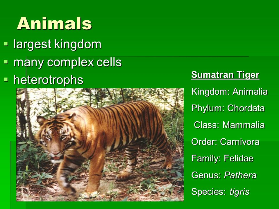 Animals largest kingdom many complex cells heterotrophs Sumatran Tiger