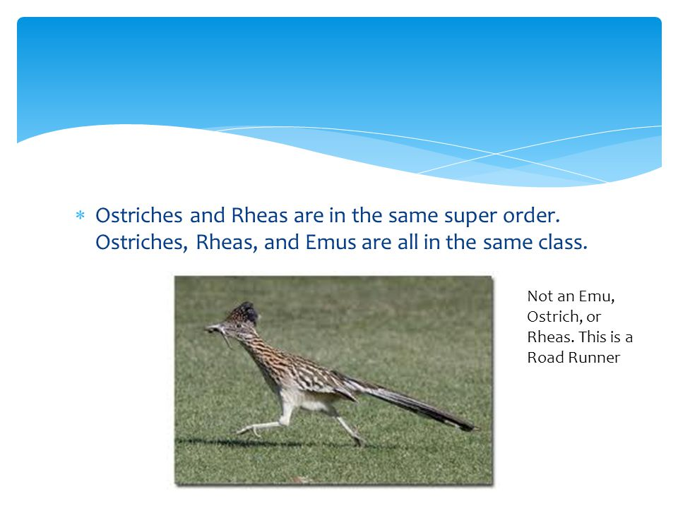 Ostriches and Rheas are in the same super order