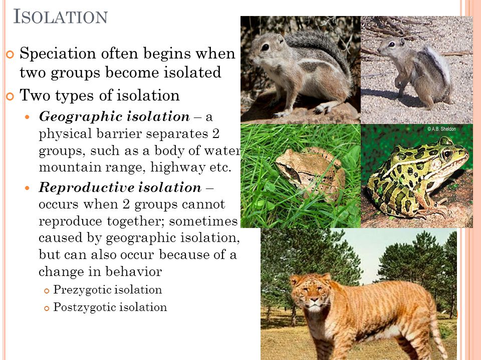 Isolation Speciation often begins when two groups become isolated