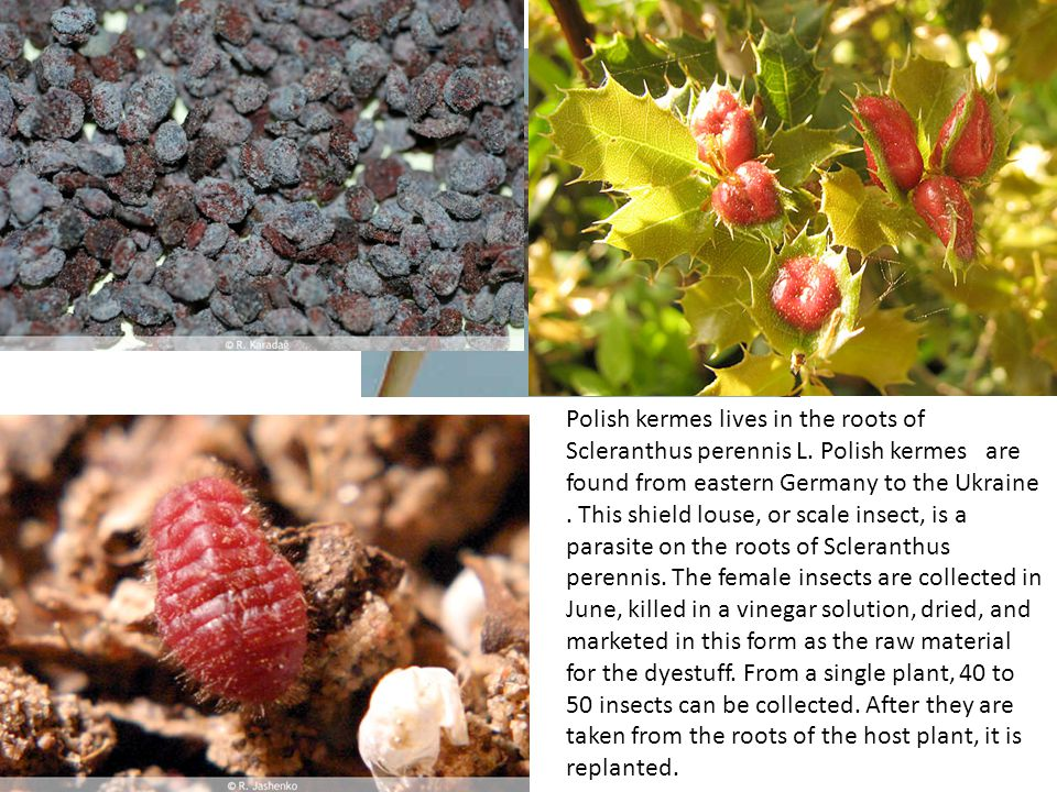 Polish kermes lives in the roots of Scleranthus perennis L