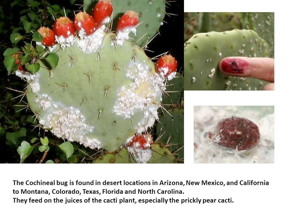The Cochineal bug is found in desert locations in Arizona, New Mexico, and California to Montana, Colorado, Texas, Florida and North Carolina. They feed on the juices of the cacti plant, especially the prickly pear cacti.