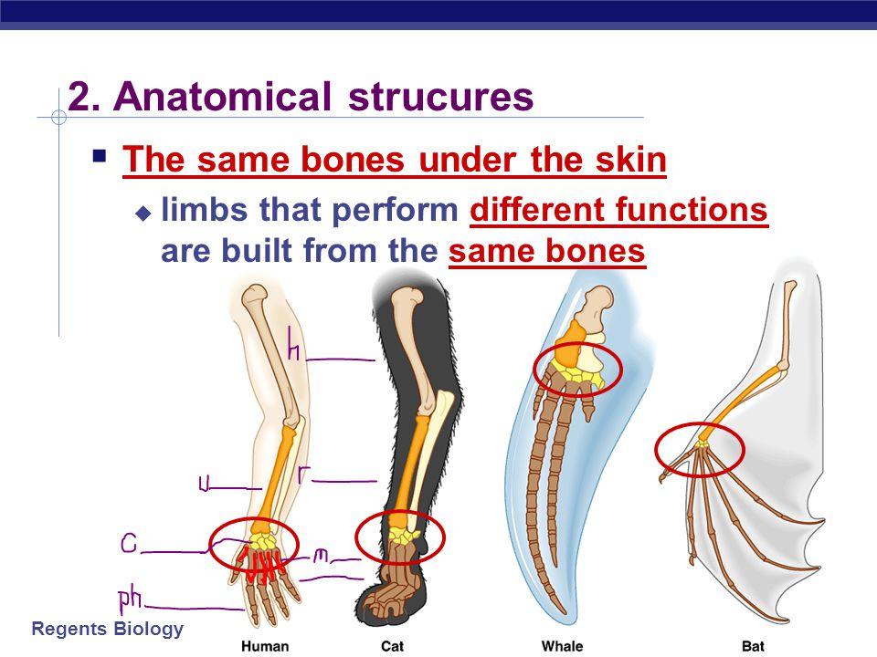 2. Anatomical strucures The same bones under the skin