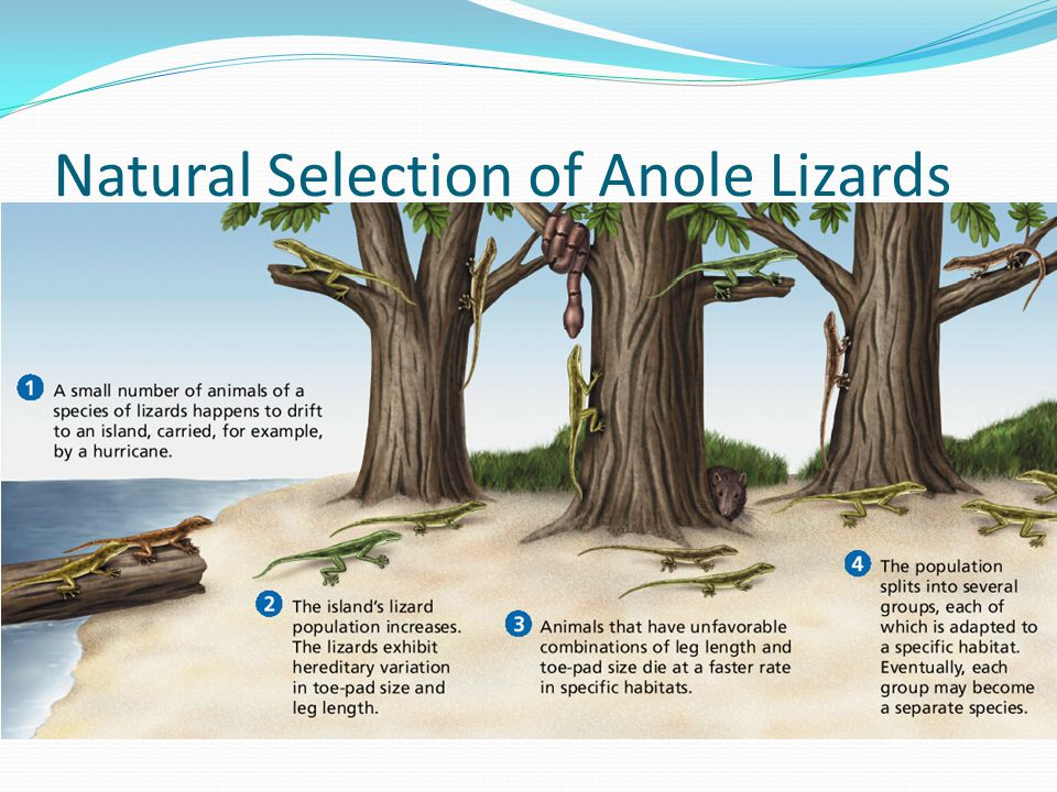 Natural Selection of Anole Lizards