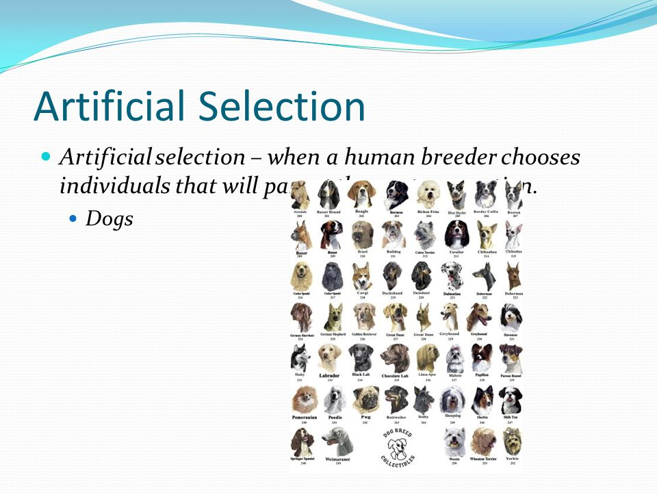 Artificial Selection Artificial selection – when a human breeder chooses individuals that will parent the next generation.