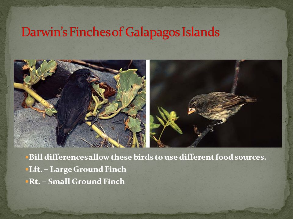 Darwin's Finches of Galapagos Islands