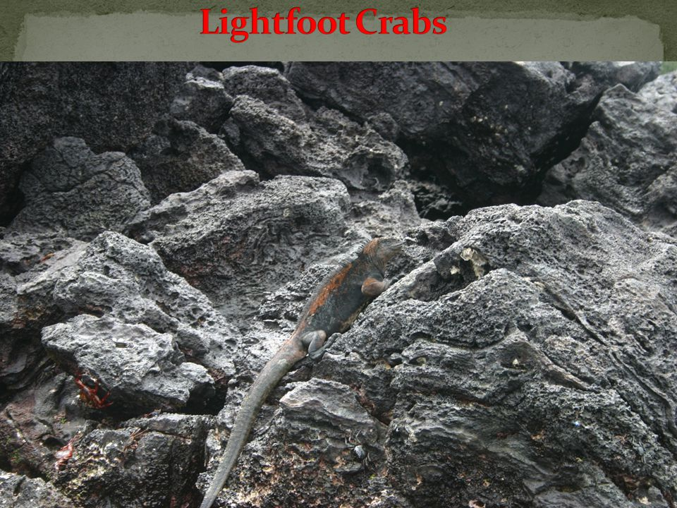 Sea Iguana and Sally Lightfoot Crabs