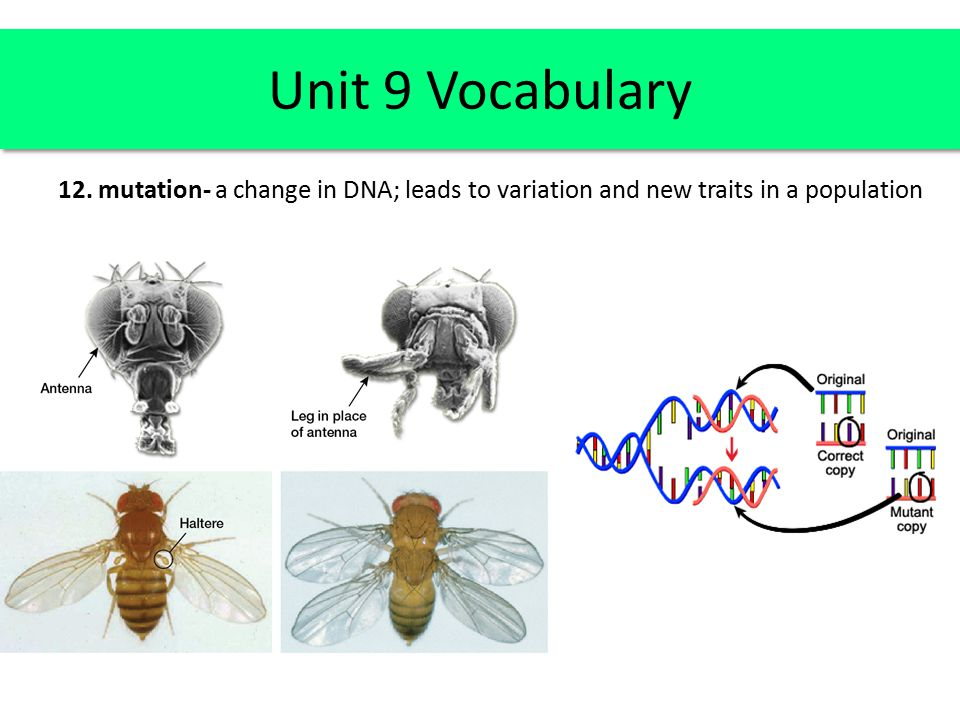 Unit 9 Vocabulary 12. mutation- a change in DNA; leads to variation and new traits in a population