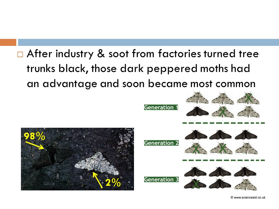 After industry & soot from factories turned tree trunks black, those dark peppered moths had an advantage and soon became most common