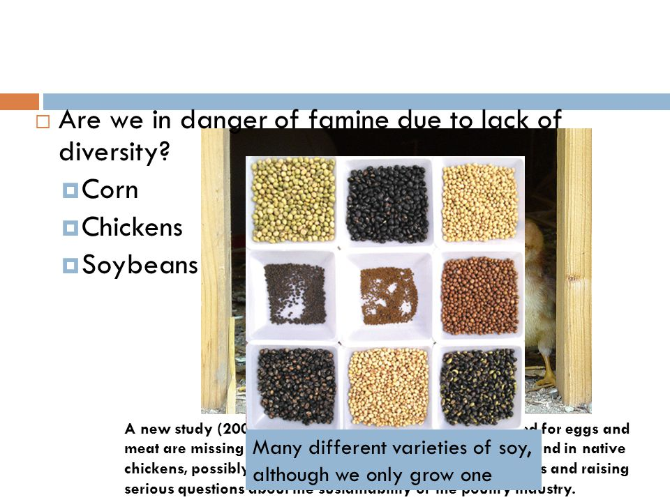 Are we in danger of famine due to lack of diversity Corn Chickens