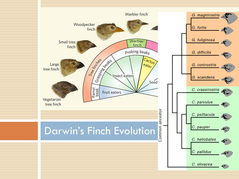 Darwin's Finch Evolution