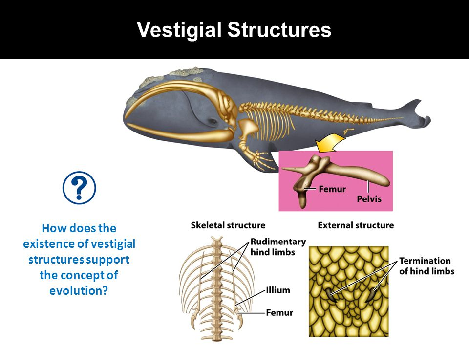 Vestigial Structures How does the existence of vestigial structures support the concept of evolution