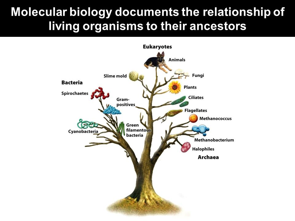 Molecular biology documents the relationship of living organisms to their ancestors