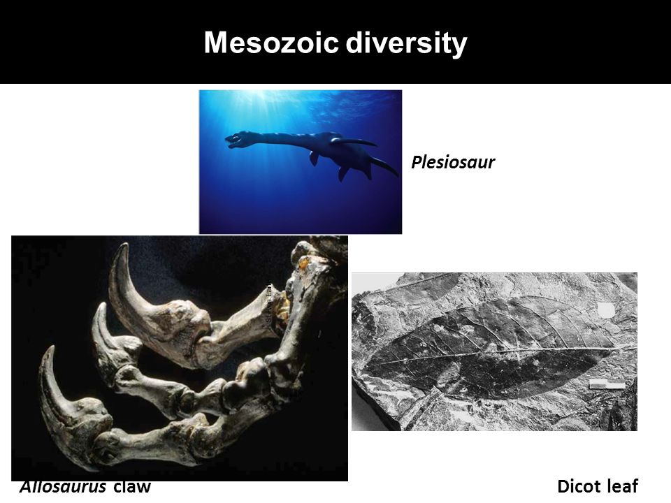 Mesozoic diversity Plesiosaur Steven Earle Allosaurus claw Dicot leaf